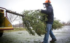 Christmas tree chipping and recycling