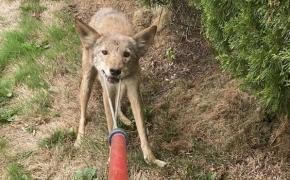 Coyote with rabies found in East Providence