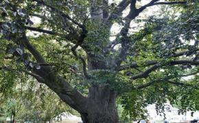 Weaver Beech Tree at Weaver Library
