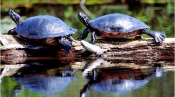 Northern Red-Belllied Turtles